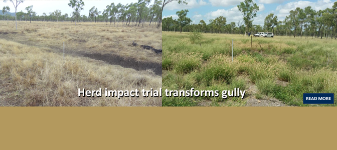 Herd impact trial transforms gully