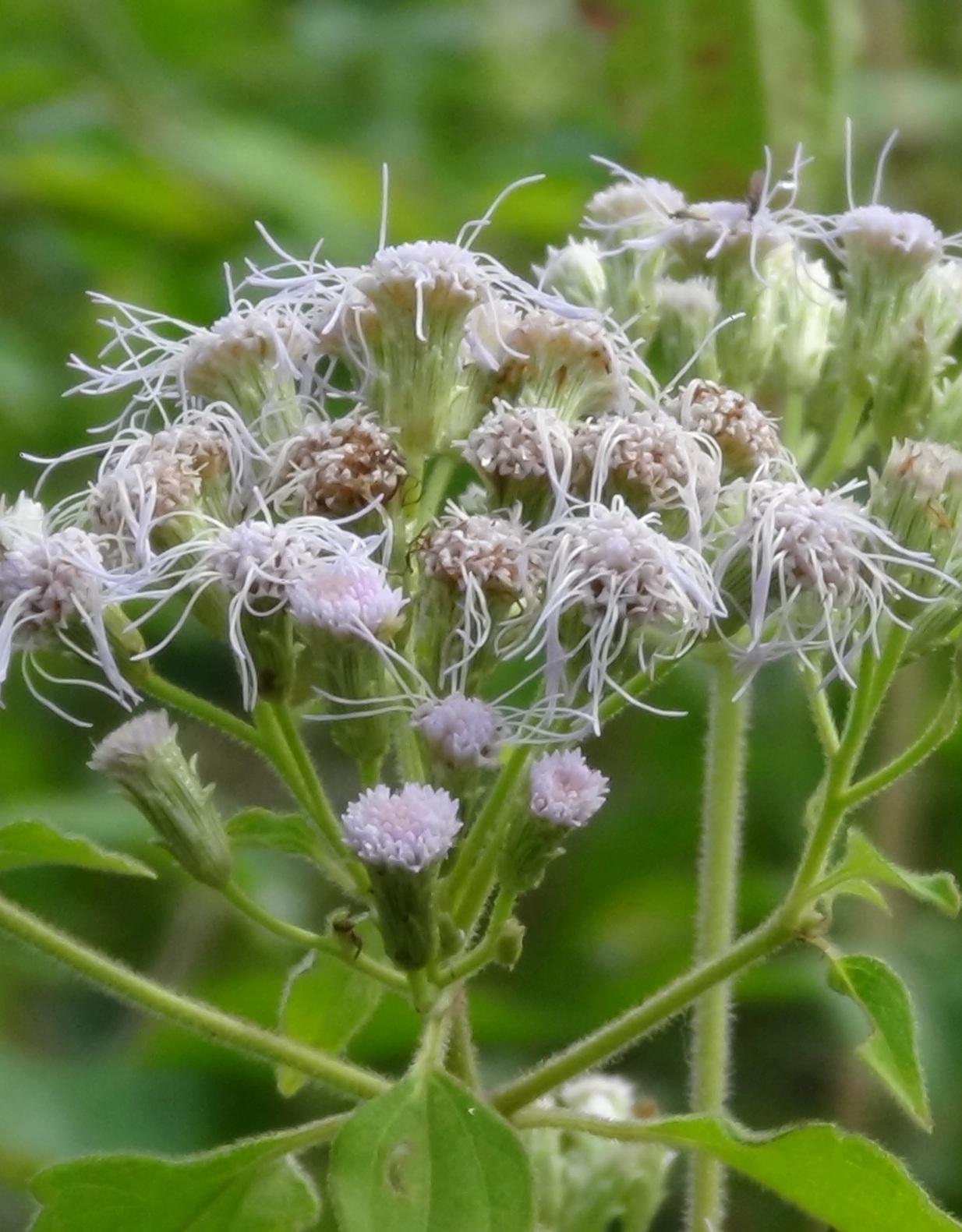 Siam weed flower