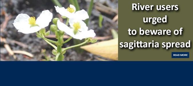 Beware of sagittaria spread