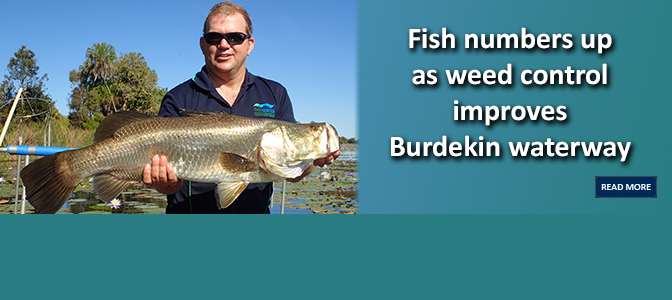 Fish numbers up as weed control improves Burdekin waterway