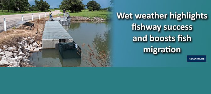 Wet weather highlights fishway success and boosts fish migration