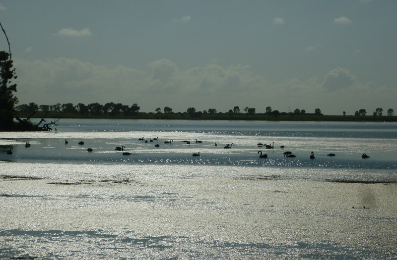 Black swan rely on Horseshoe Lagoon as a breeding site and a safe place to teach their young to fly
