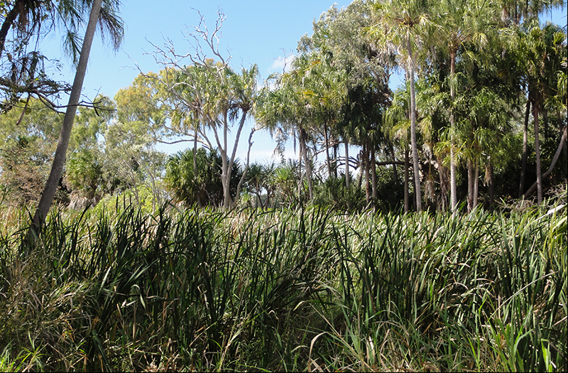 Many wetland areas in the Lilliesmere sub-catchment are choked with cumbungi – a native bullrush that thrives on abundant water and nutrients.