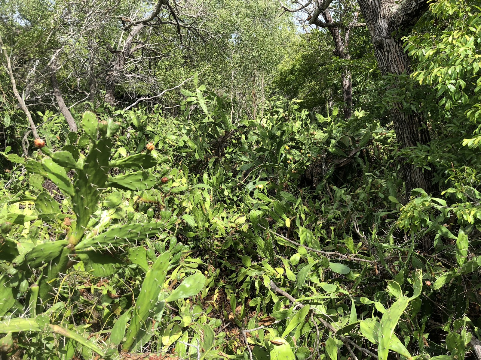 BSP18 prickly pear opuntia infestation