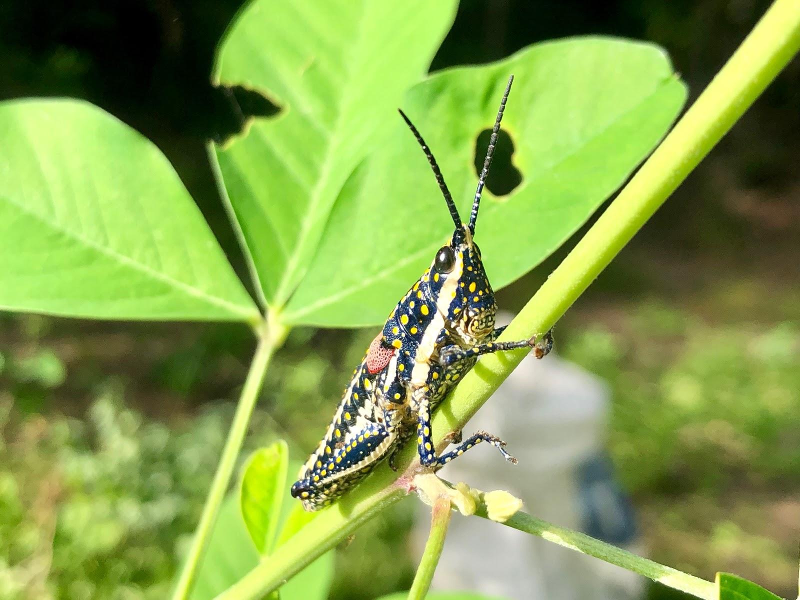 Monistria pustulifera - blistered grasshopper (edible)