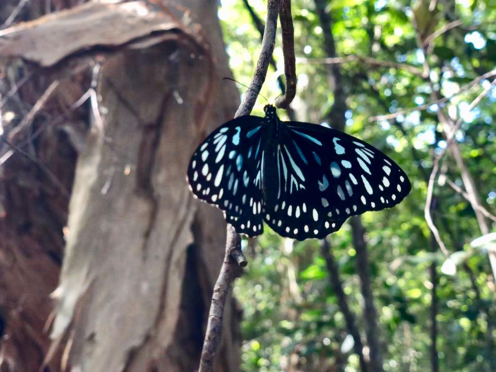 Tirumala limniace - blue tiger - magnetic island 02