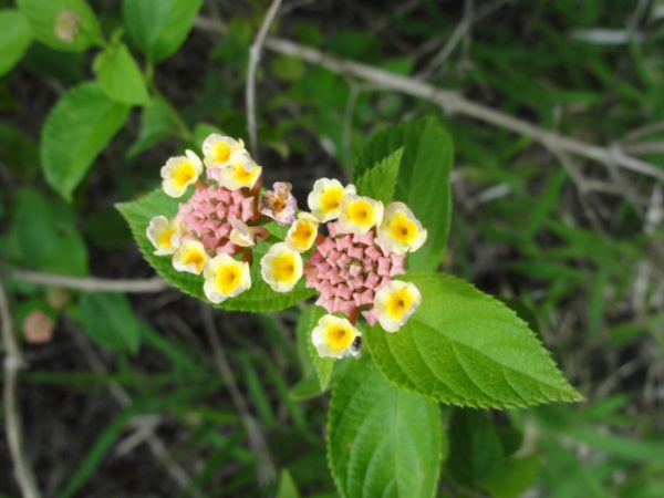 Lantana - Restricted plant under Queensland legislation and is listed as a Weed of National Significance © NQ Dry Tropics 2012