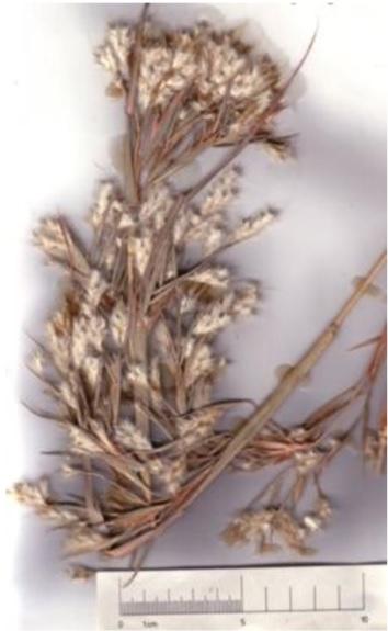 Citronella Grass © C.Gardiner JCU Townsville 2012