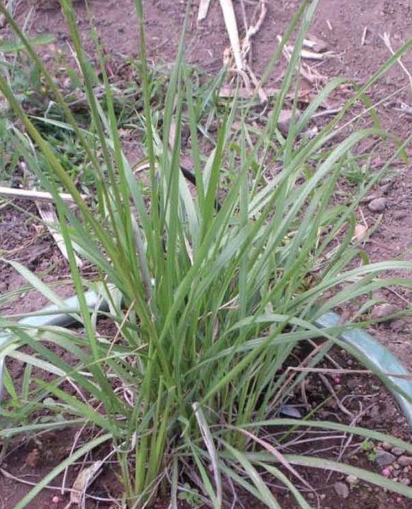 Cockatoo Grass © C.Gardiner JCU Townsville 2012