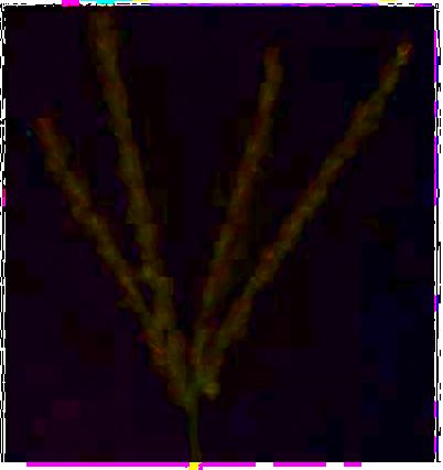 Digitate inflorescence © C.Gardiner JCU Townsville 2012