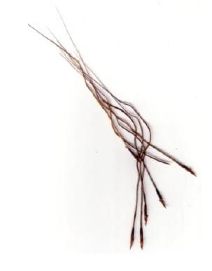 Giant Speargrass © C.Gardiner JCU Townsville 2012