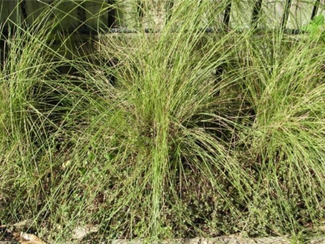 Golden Beard Grass © C.Gardiner JCU Townsville 2012