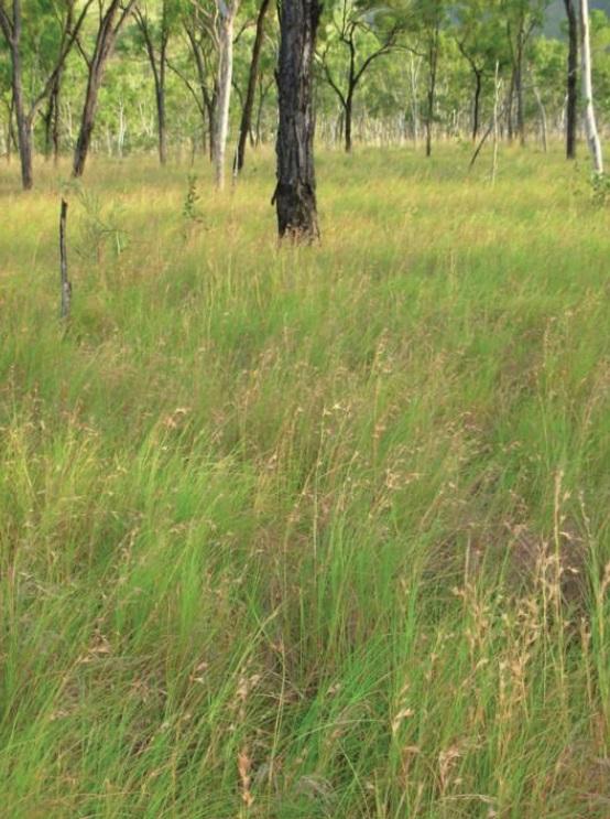 Kangaroo Grass © C.Gardiner JCU Townsville 2012
