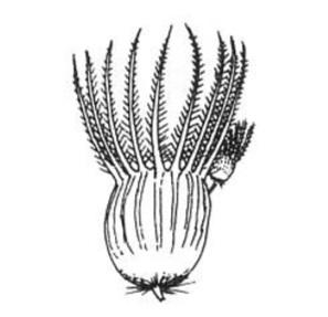 Nineawn Grass © Jacobs et al (2008)