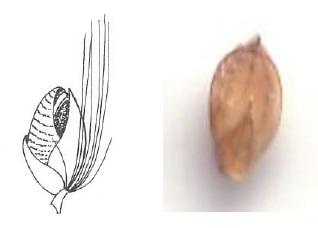Pigeon Grass (Jacobs et al 2008)