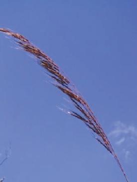 Plume Sorghum © C.Gardiner JCU Townsville 2012