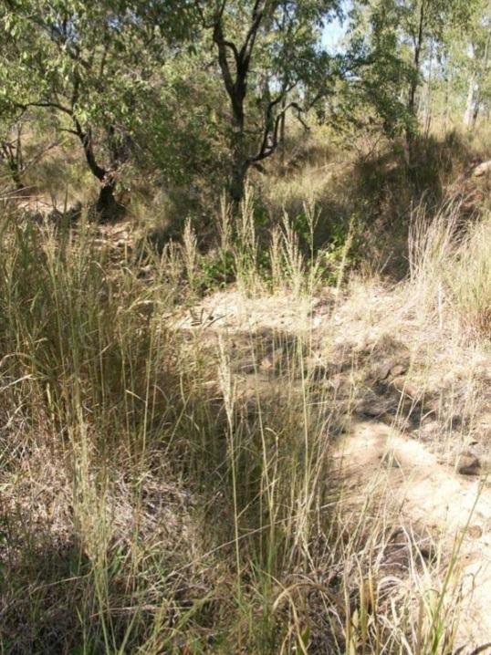 Reed Grass © C.Gardiner JCU Townsville 2012