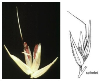 Reed Grass - (Left) Open spikelet (Watson, L., and Dallwitz, M.J.  1992) (Right) Spikelet drawing from Gardner (1952)