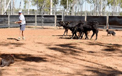 Education key to moving cattle calmly and safely